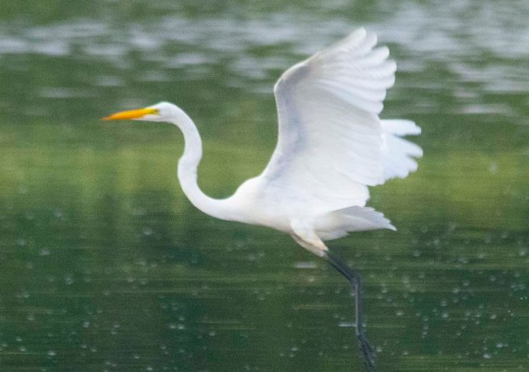 Great Egret 2020-180