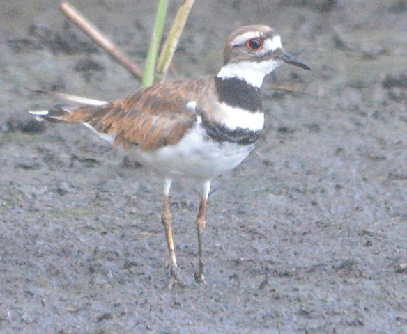 Killdeer 2020-8