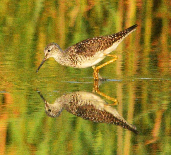 Lesser Yellowlegs 2020-18
