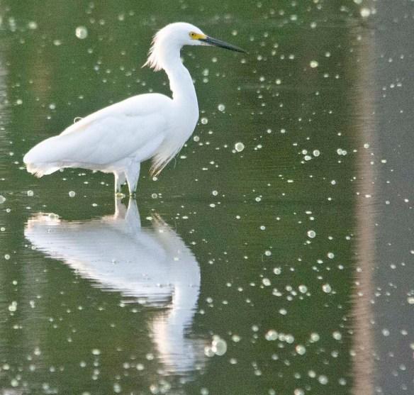 Snowy Egret 2020-113
