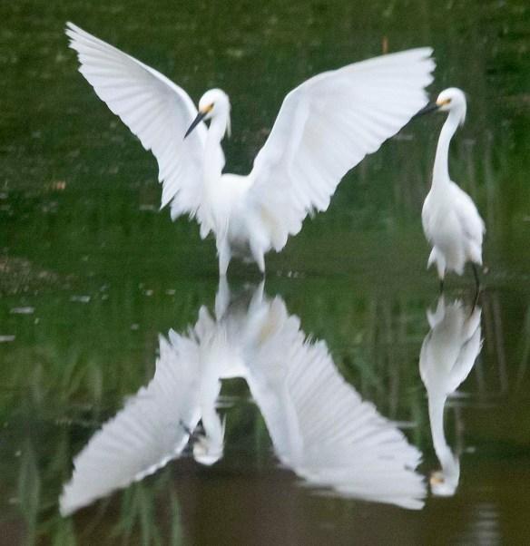Snowy Egret 2020-139