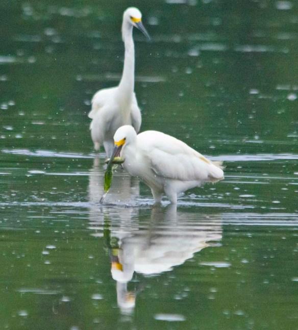Snowy Egret 2020-143