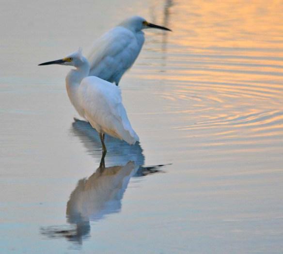 Snowy Egret 2020-170