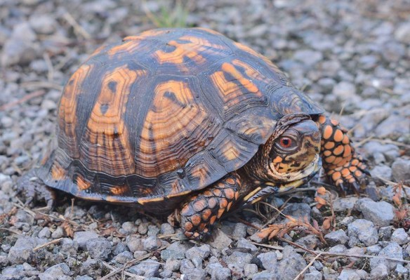 Eastern Box Turtle 22