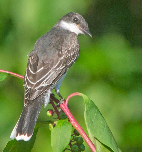 Eastern Kingbird 2020-139