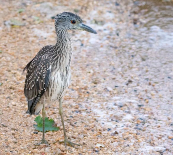 Yellow Crowned Night Heron 2020-2