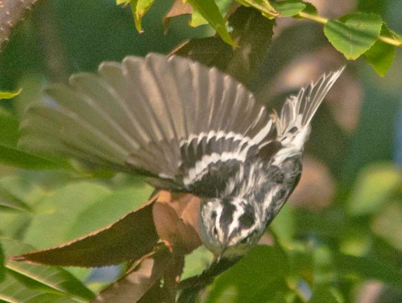 Black and White Warbler 2020-10