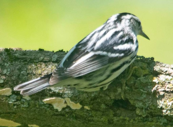 Black and White Warbler 2020-4