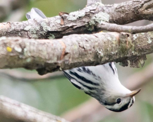 Black and White Warbler 2020-6