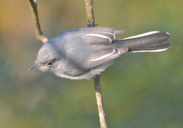 Blue Gray Gnatcatcher 2020-5