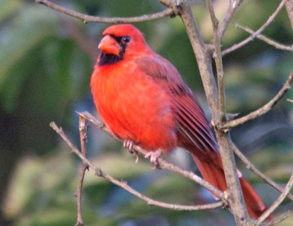 Cardinal 2020-11