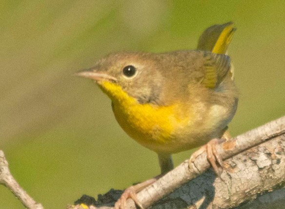 Common Yellowthroat 2020-1