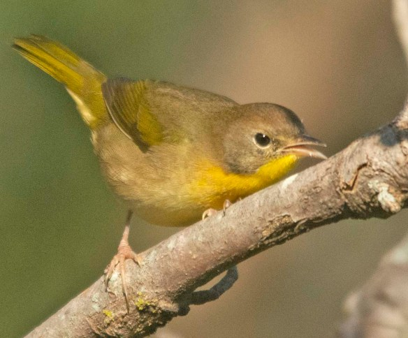 Common Yellowthroat 2020-3