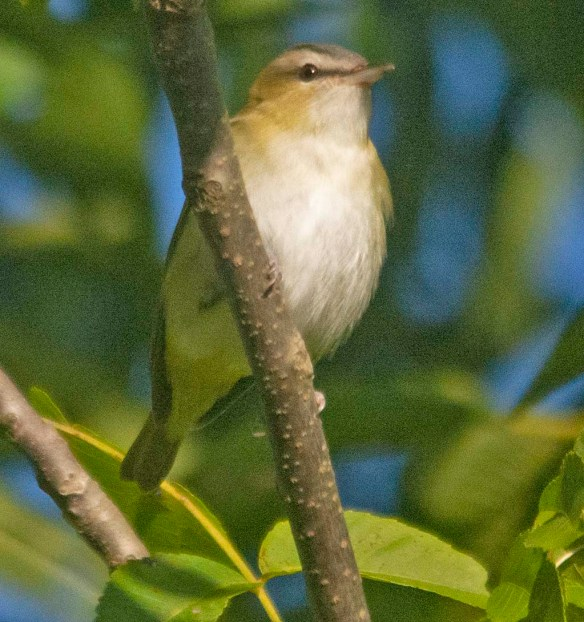 Red Eyed Vireo 2020-10
