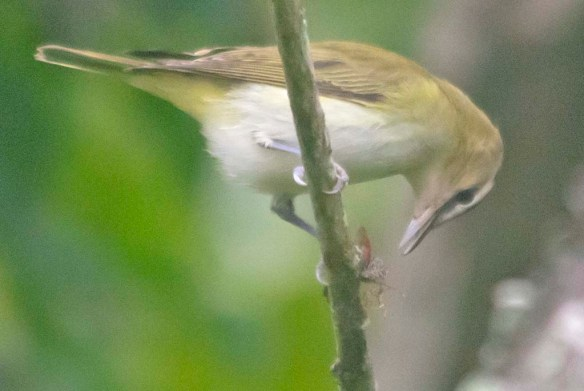 Red Eyed Vireo 2020-7