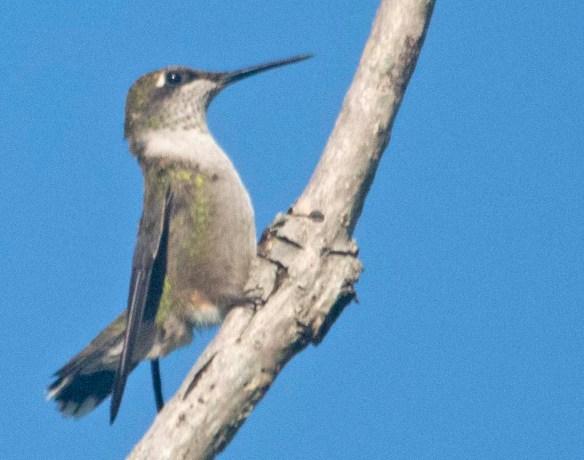Ruby Throated Hummingbird 2020-1