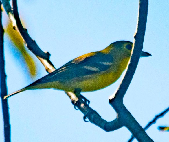 Yellow Throated Vireo 2020-1