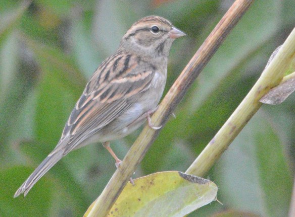 Chipping Sparrow 2020-18