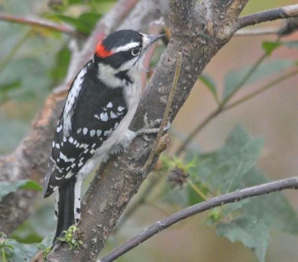Downy Woodpecker 2020-9