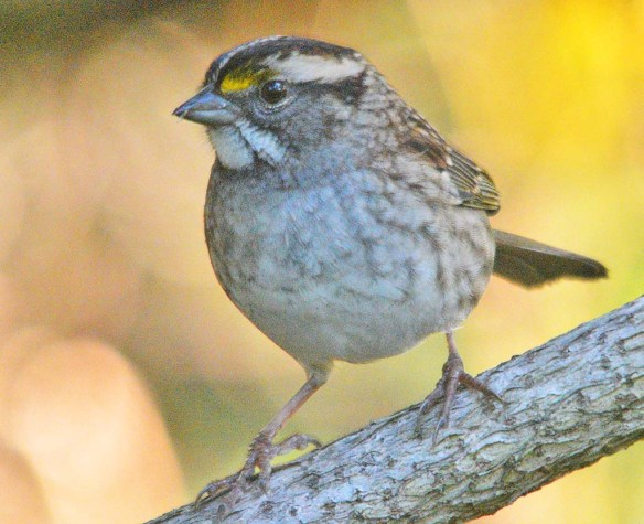 White Throated Sparrow 2020-10