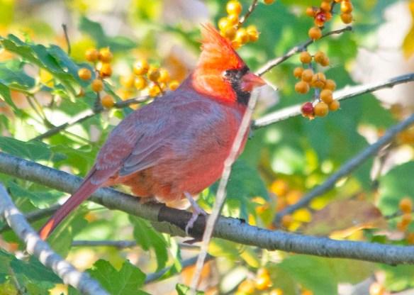 Cardinal 2020-16