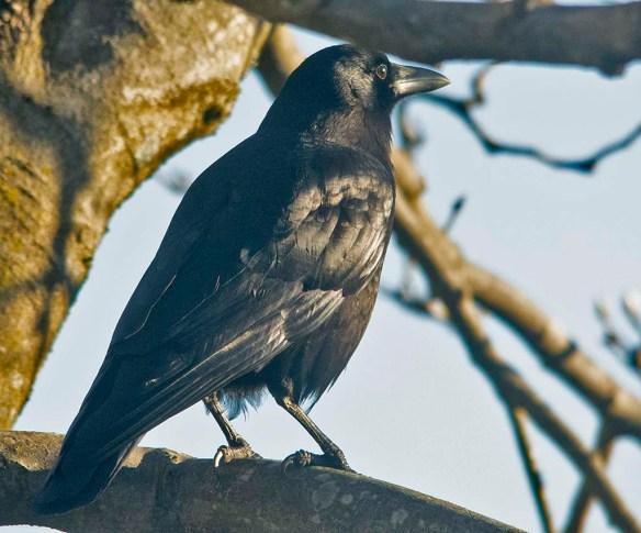 Crow 2020-102