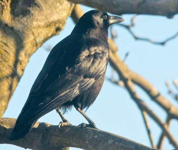 Crow 2020-103