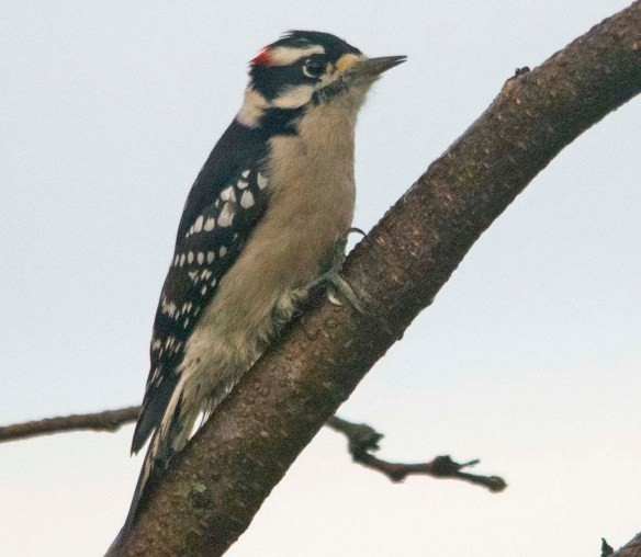 Downy Woodpecker 2020-13
