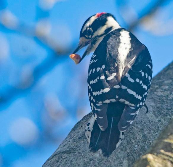 Downy Woodpecker 2020-18