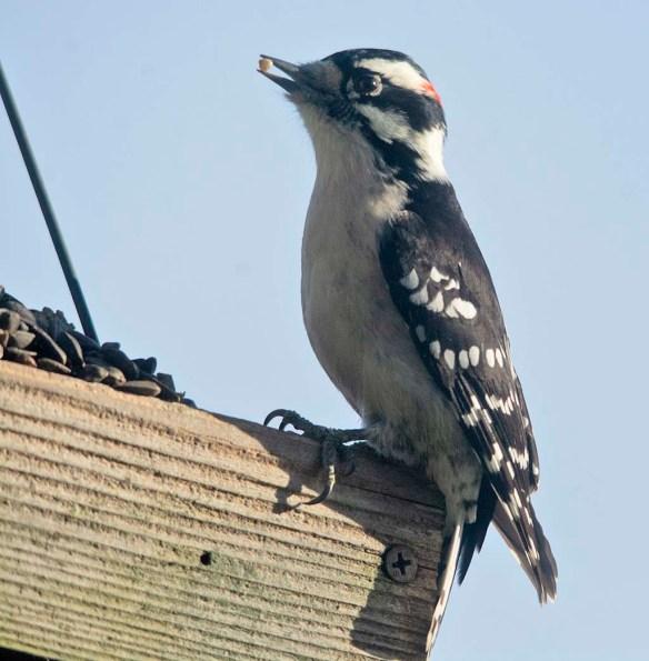 Downy Woodpecker 2020-26