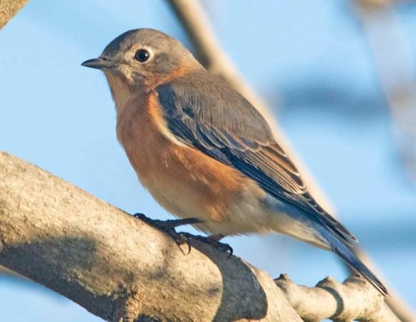 Eastern Bluebird 2020-106