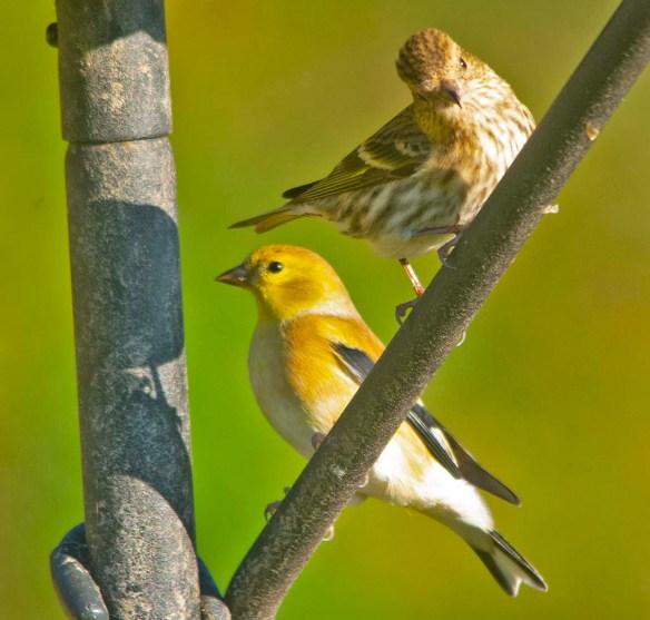 Goldfinch 2020-19