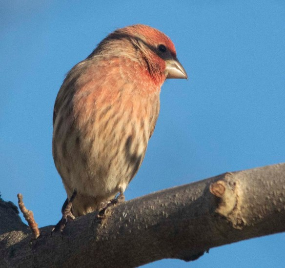 House Finch 2020-11