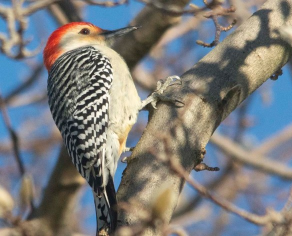 Red Bellied Woodpecker 2020-5