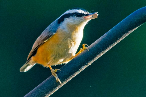 Red Breasted Nuthatch 2020-10