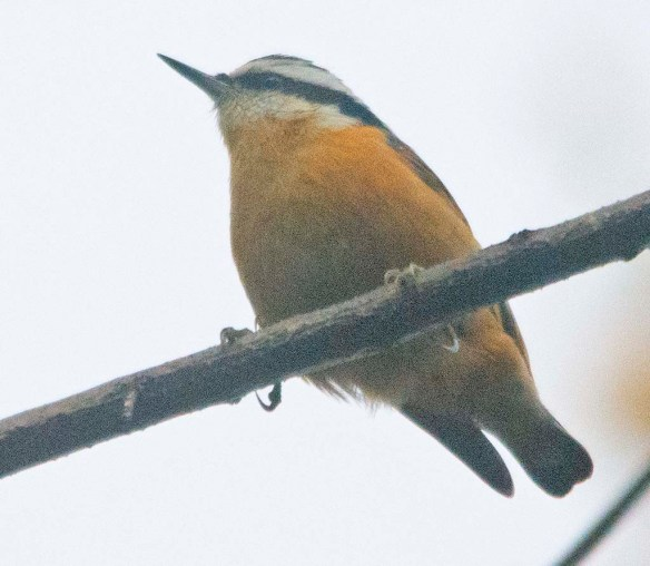 Red Breasted Nuthatch 2020-6