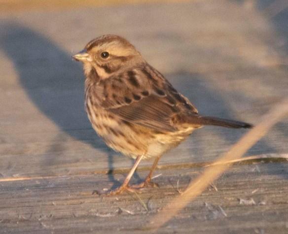Song Sparrow 2020-7