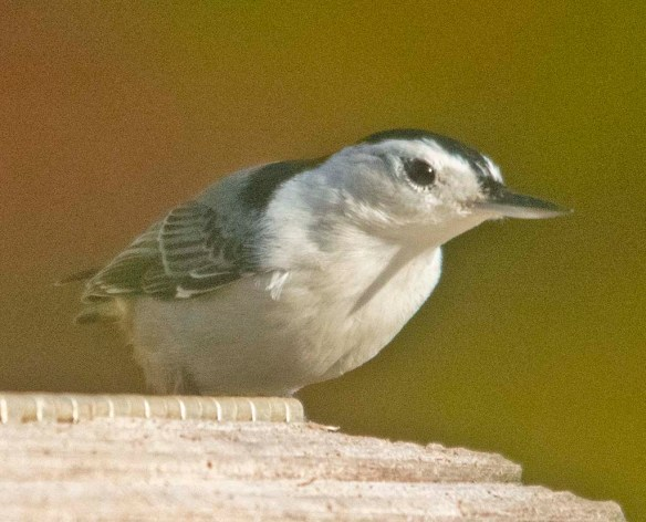White Breasted Nuthatch 2020-13