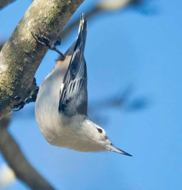 White Breasted Nuthatch 2020-15