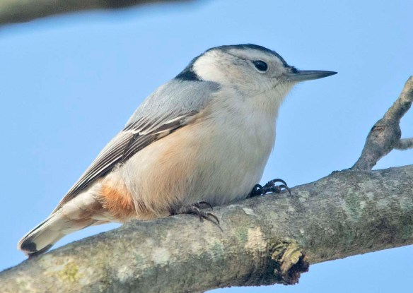 White Breasted Nuthatch 2020-26
