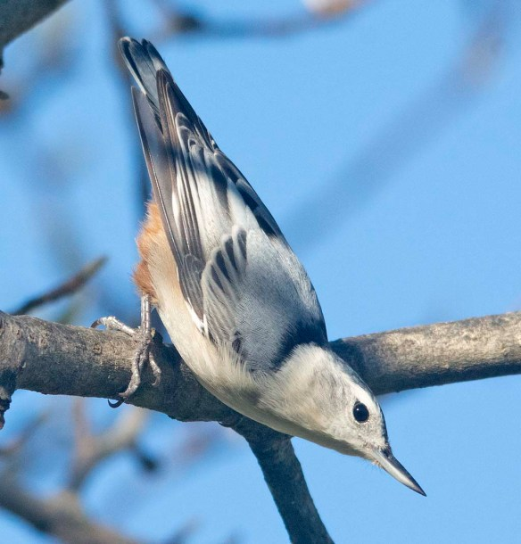 White Breasted Nuthatch 2020-29