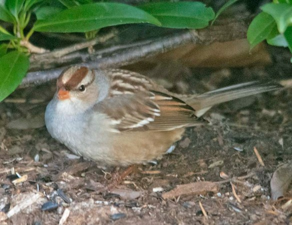 White Crowned Sparrow 2020-16