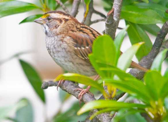 White Throated Sparrow 2020-14