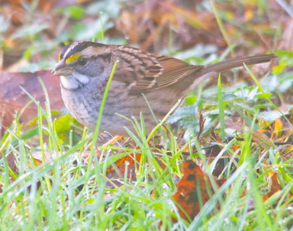 White Throated Sparrow 2020-15