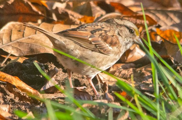 White Throated Sparrow 2020-17