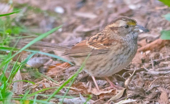White Throated Sparrow 2020-18