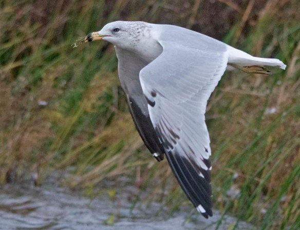 ring billed gull 2020-2