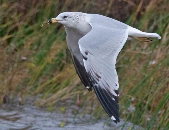ring billed gull 2020-2