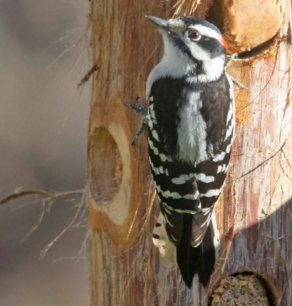 Downy Woodpecker 2020-35