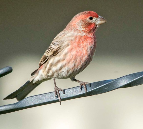 House Finch 2020-12
